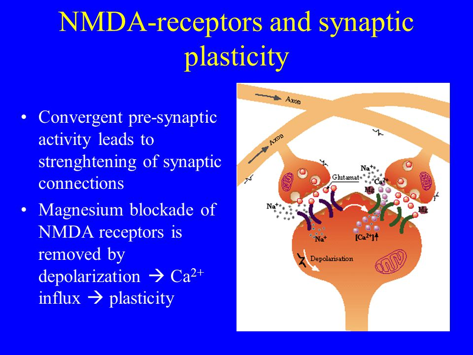 NMDA-receptors and synaptic plasticity Convergent pre-synaptic activity leads to strenghtening of synaptic connections Magnesium blockade of NMDA receptors is removed by depolarization Ca 2+ influx plasticity