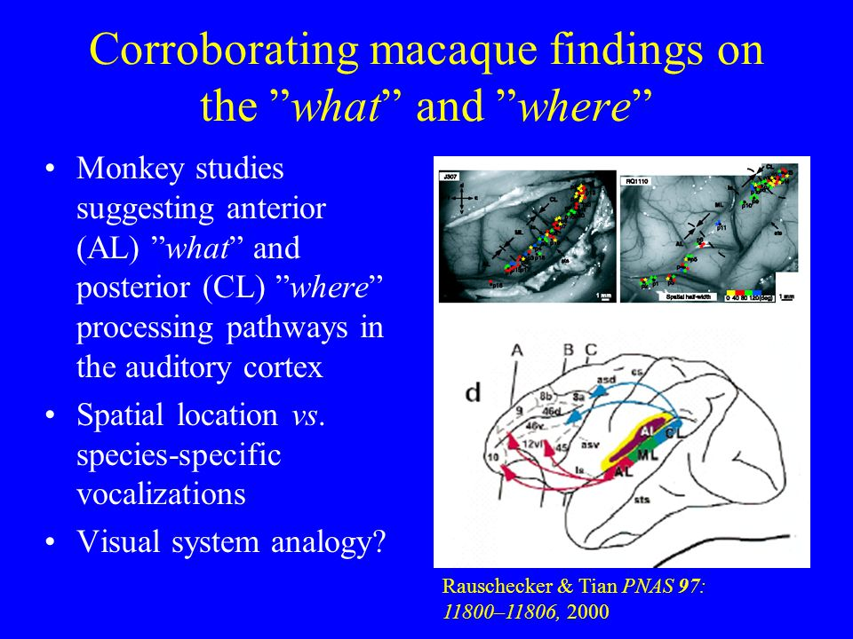 Corroborating macaque findings on the what and where Monkey studies suggesting anterior (AL) what and posterior (CL) where processing pathways in the auditory cortex Spatial location vs.