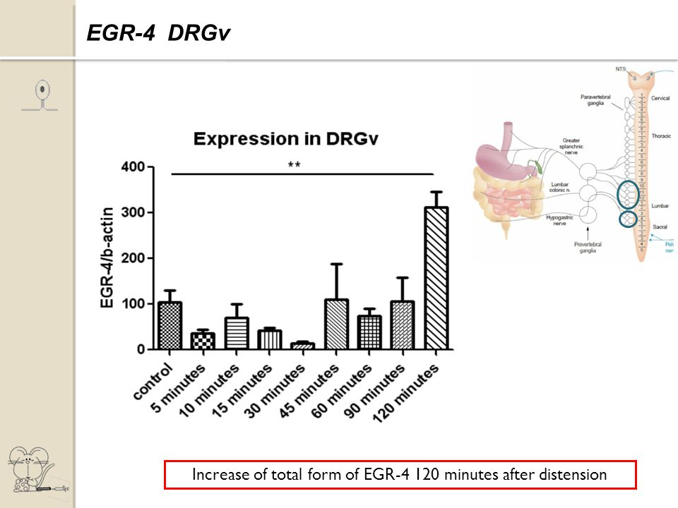 Increase of total form of EGR-4 120 minutes after distension Expression of EGR-4 EGR-4 DRGv