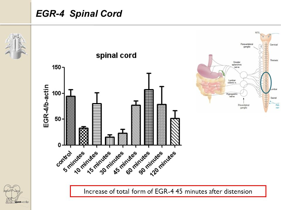 Expression of EGR-4 Increase of total form of EGR-4 45 minutes after distension EGR-4 Spinal Cord