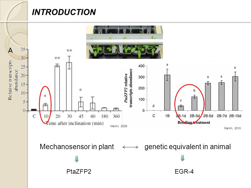 Martin, 2009 Mechanosensor in plant genetic equivalent in animal PtaZFP2EGR-4 INTRODUCTION Martin, 2010
