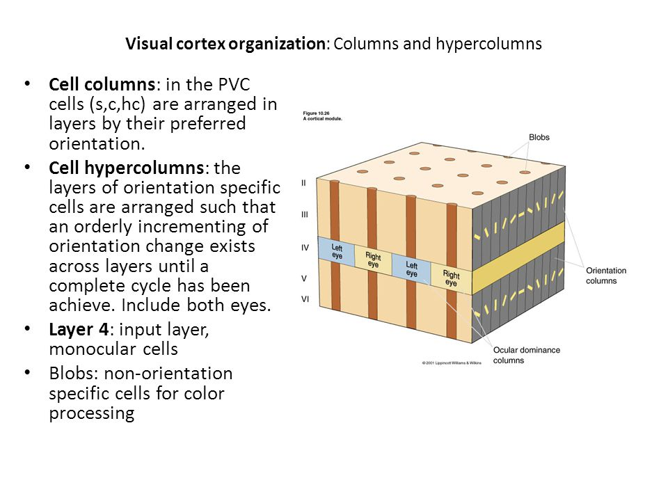 Visual cortex organization: Columns and hypercolumns Cell columns: in the PVC cells (s,c,hc) are arranged in layers by their preferred orientation. Ce