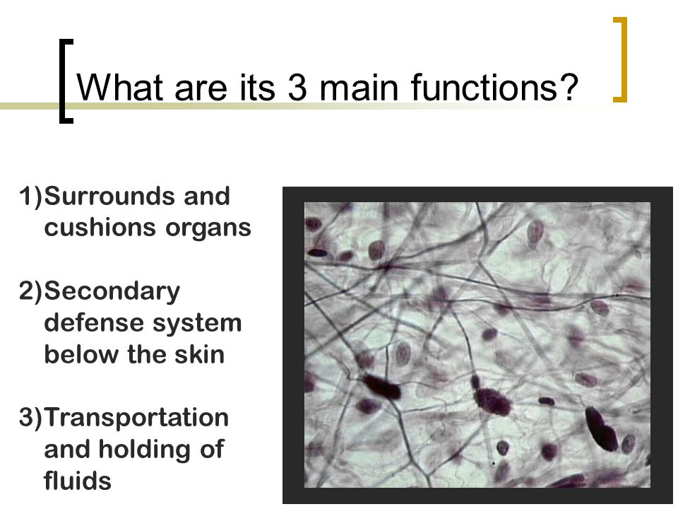 What are its 3 main functions? 1)Surrounds and cushions organs 2)Secondary defense system below the skin 3)Transportation and holding of fluids