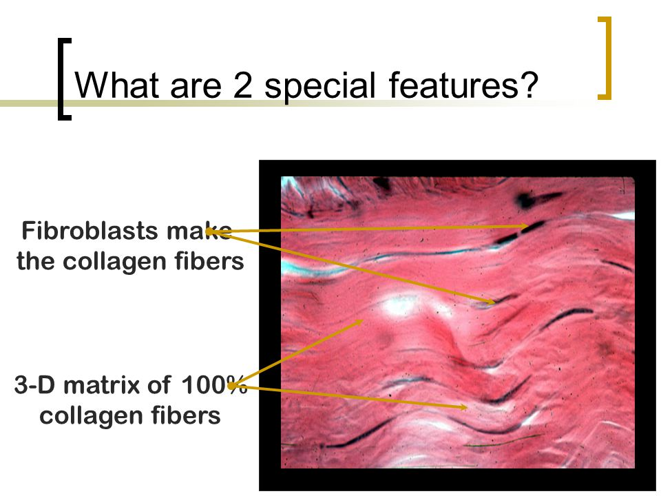 What are 2 special features? Fibroblasts make the collagen fibers 3-D matrix of 100% collagen fibers