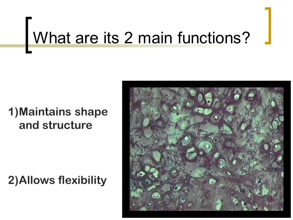 What are its 2 main functions? 1)Maintains shape and structure 2)Allows flexibility