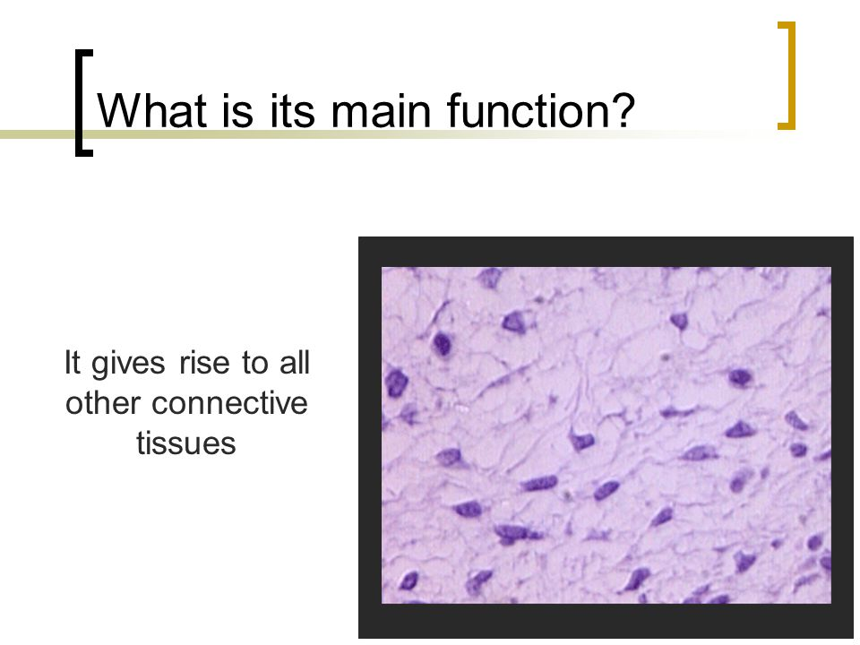 What is its main function? It gives rise to all other connective tissues