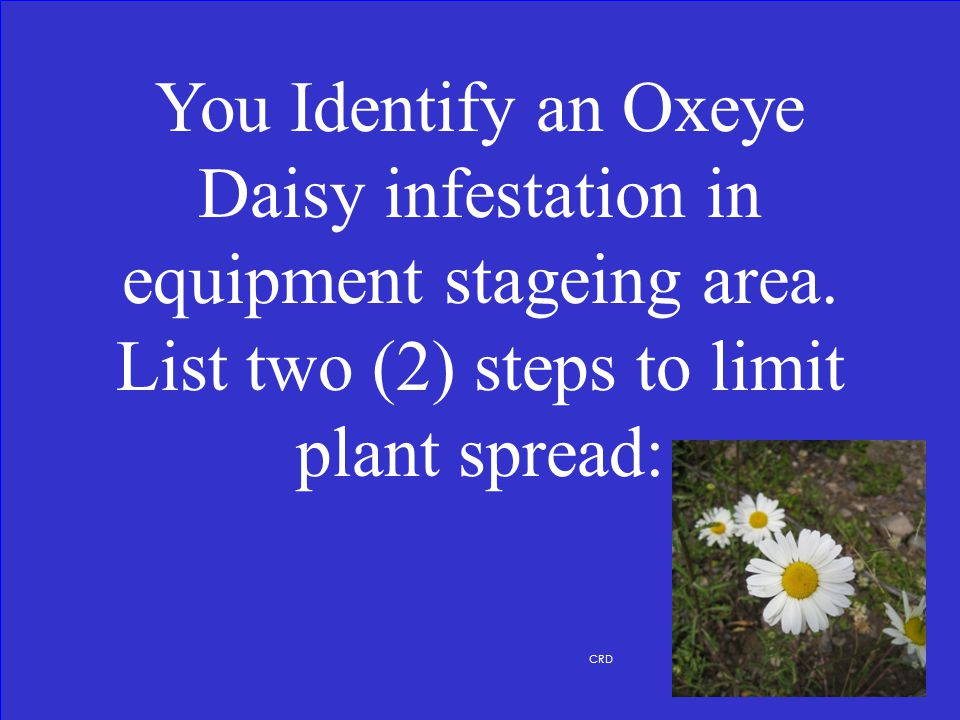 What is Scentless Chamomile
