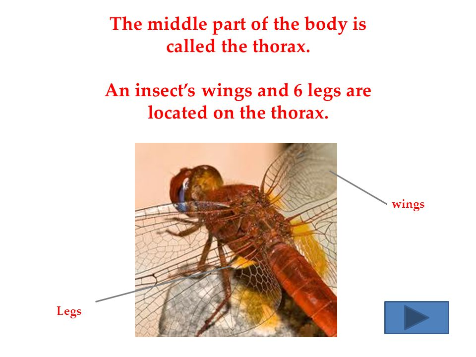 The middle part of the body is called the thorax.