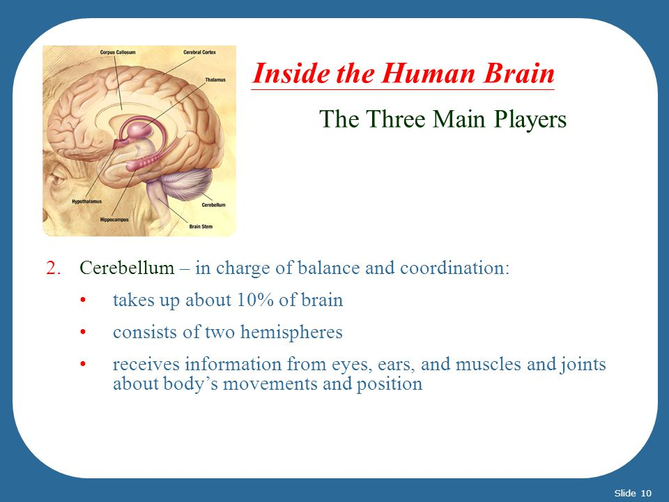 2.Cerebellum – in charge of balance and coordination: takes up about 10% of brain consists of two hemispheres receives information from eyes, ears, and muscles and joints about bodys movements and position The Three Main Players Inside the Human Brain Slide 10