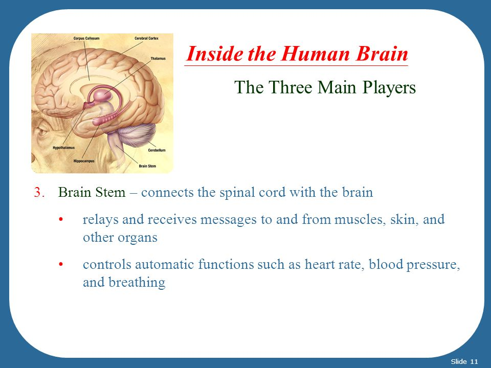 3.Brain Stem – connects the spinal cord with the brain relays and receives messages to and from muscles, skin, and other organs controls automatic fun