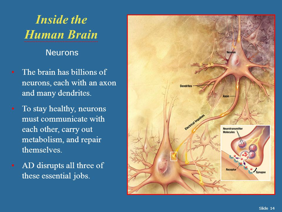 Neurons The brain has billions of neurons, each with an axon and many dendrites. To stay healthy, neurons must communicate with each other, carry out