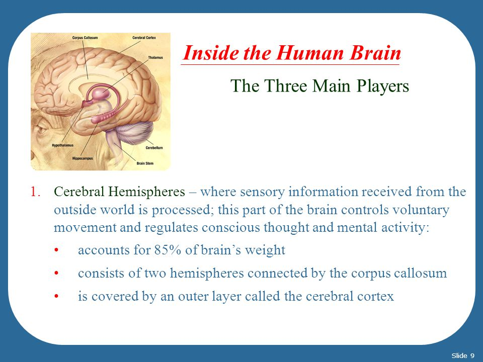The Three Main Players 1.Cerebral Hemispheres – where sensory information received from the outside world is processed; this part of the brain controls voluntary movement and regulates conscious thought and mental activity: accounts for 85% of brains weight consists of two hemispheres connected by the corpus callosum is covered by an outer layer called the cerebral cortex Inside the Human Brain Slide 9
