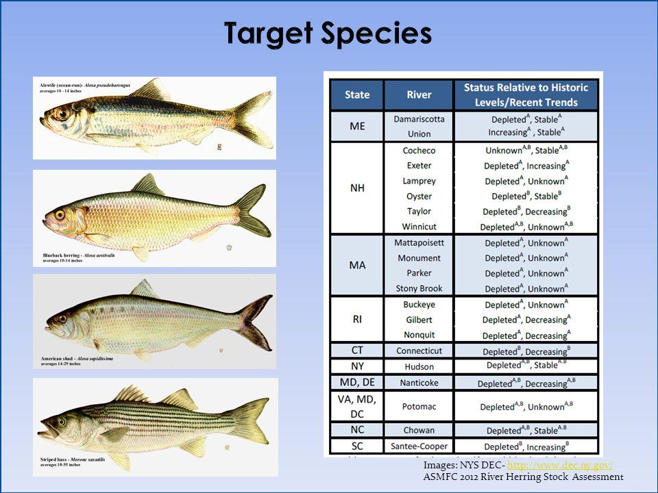 Images: NYS DEC- http://www.dec.ny.gov/http://www.dec.ny.gov/ ASMFC 2012 River Herring Stock Assessmen t
