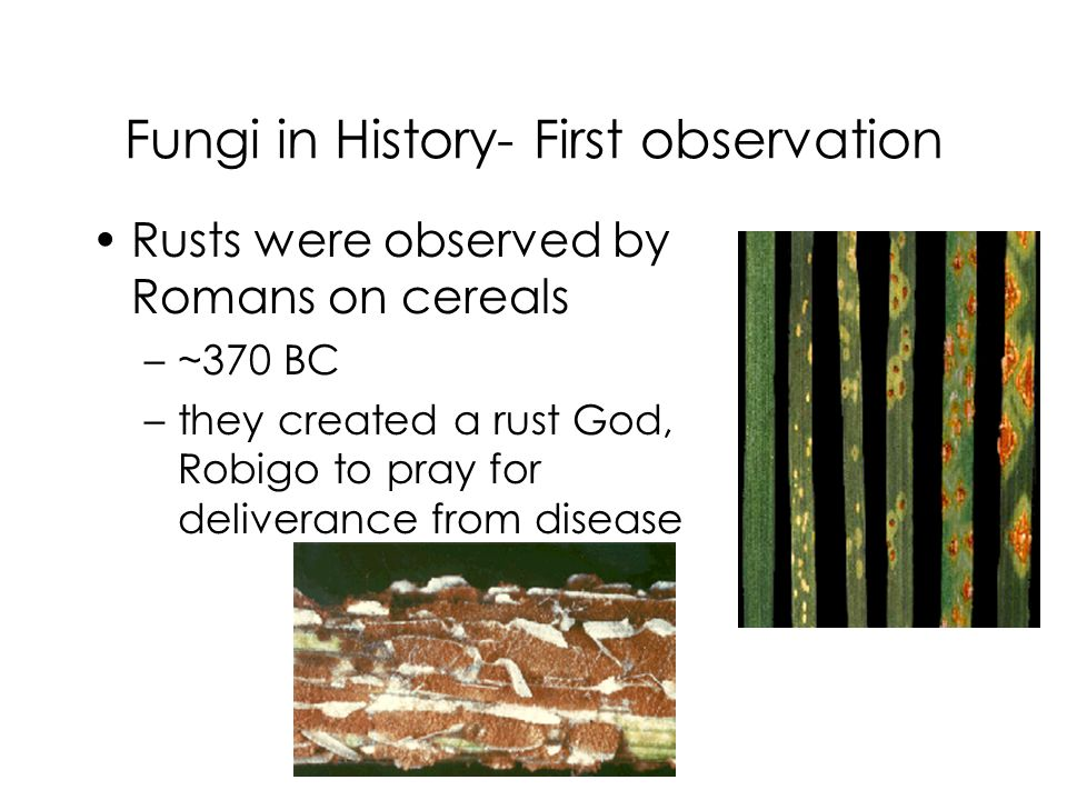 Fungi in History- First observation Rusts were observed by Romans on cereals –~370 BC –they created a rust God, Robigo to pray for deliverance from di