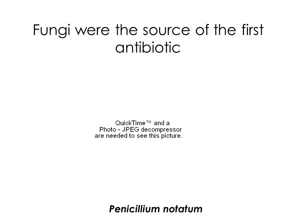 Fungi were the source of the first antibiotic Penicillium notatum