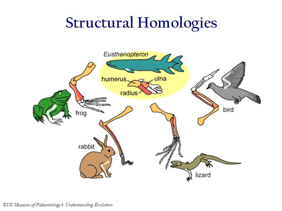 Structural Homologies ©UC Museum of Paleontology s Understanding Evolution