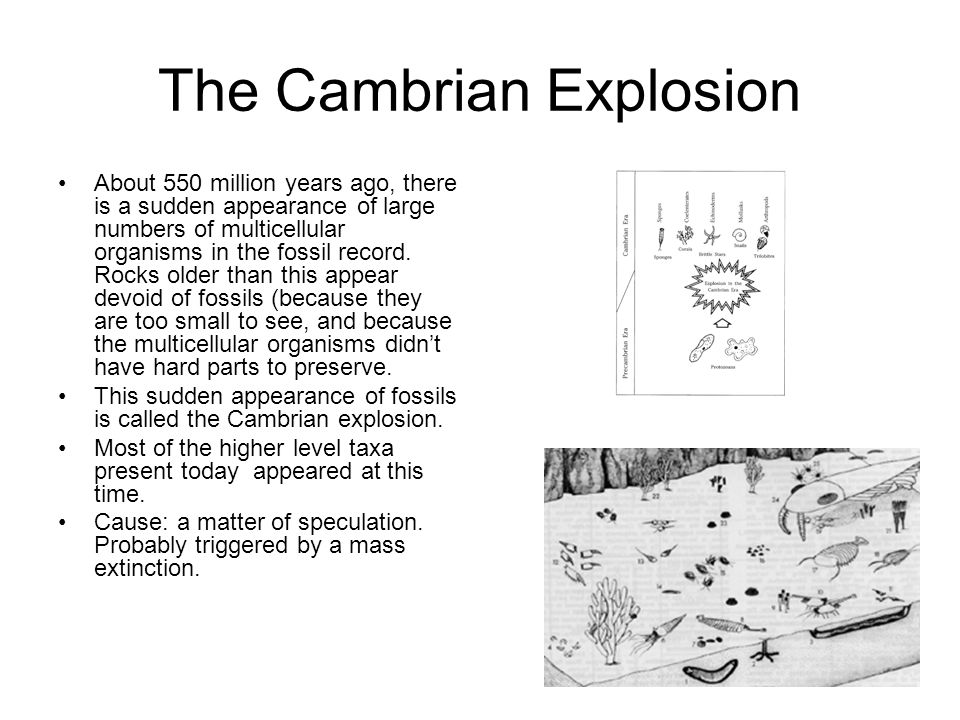 The Cambrian Explosion About 550 million years ago, there is a sudden appearance of large numbers of multicellular organisms in the fossil record. Roc