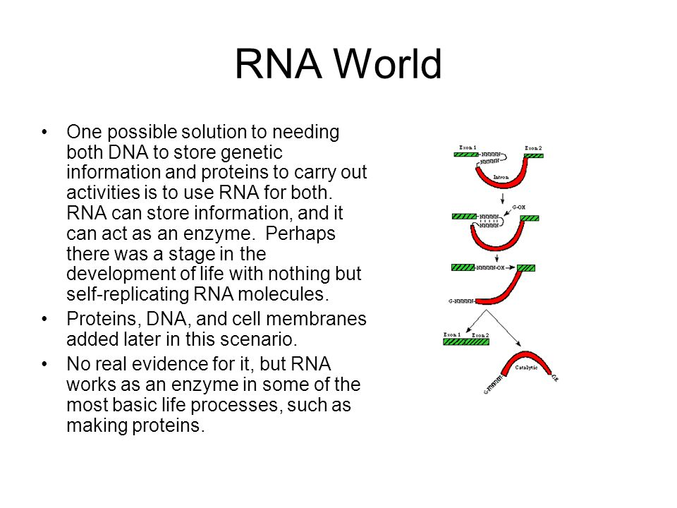 RNA World One possible solution to needing both DNA to store genetic information and proteins to carry out activities is to use RNA for both. RNA can