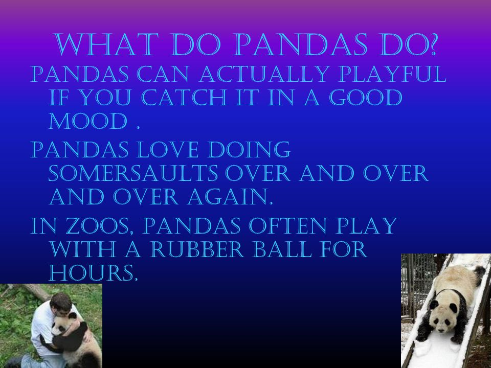 What do Pandas do? Pandas can actually playful if you catch it in a good mood. Pandas love doing somersaults over and over and over again. In zoos, Pa