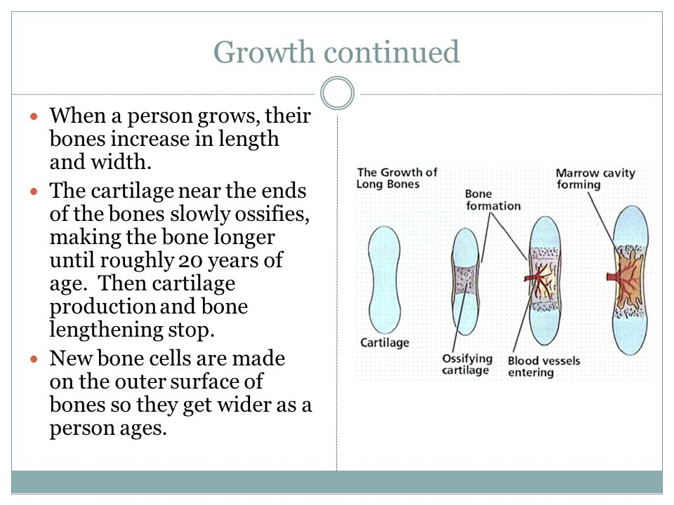 Growth continued When a person grows, their bones increase in length and width.