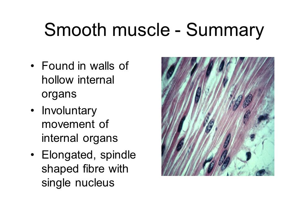 Smooth muscle - Summary Found in walls of hollow internal organs Involuntary movement of internal organs Elongated, spindle shaped fibre with single n