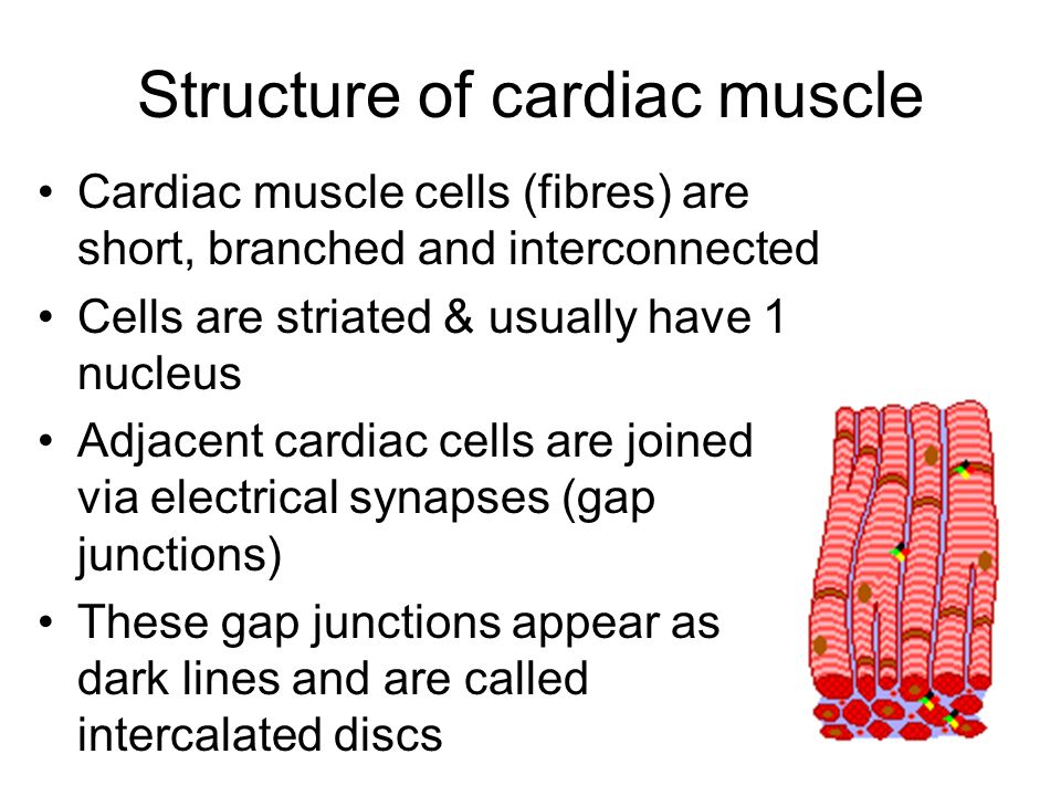 Structure of cardiac muscle Cardiac muscle cells (fibres) are short, branched and interconnected Cells are striated & usually have 1 nucleus Adjacent