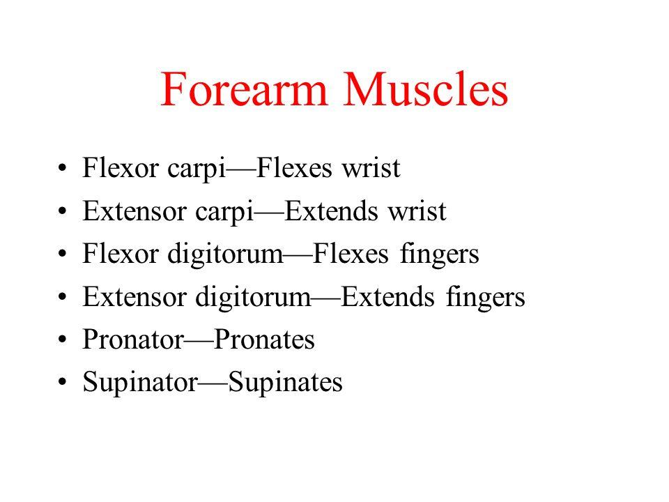 Forearm Muscles Flexor carpiFlexes wrist Extensor carpiExtends wrist Flexor digitorumFlexes fingers Extensor digitorumExtends fingers PronatorPronates