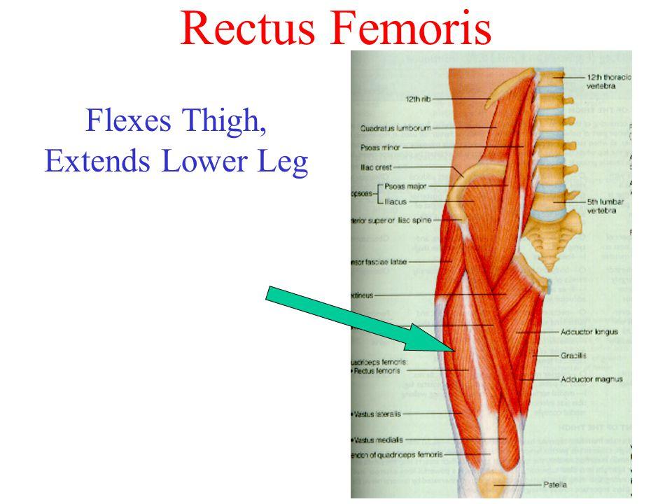 Rectus Femoris Flexes Thigh, Extends Lower Leg