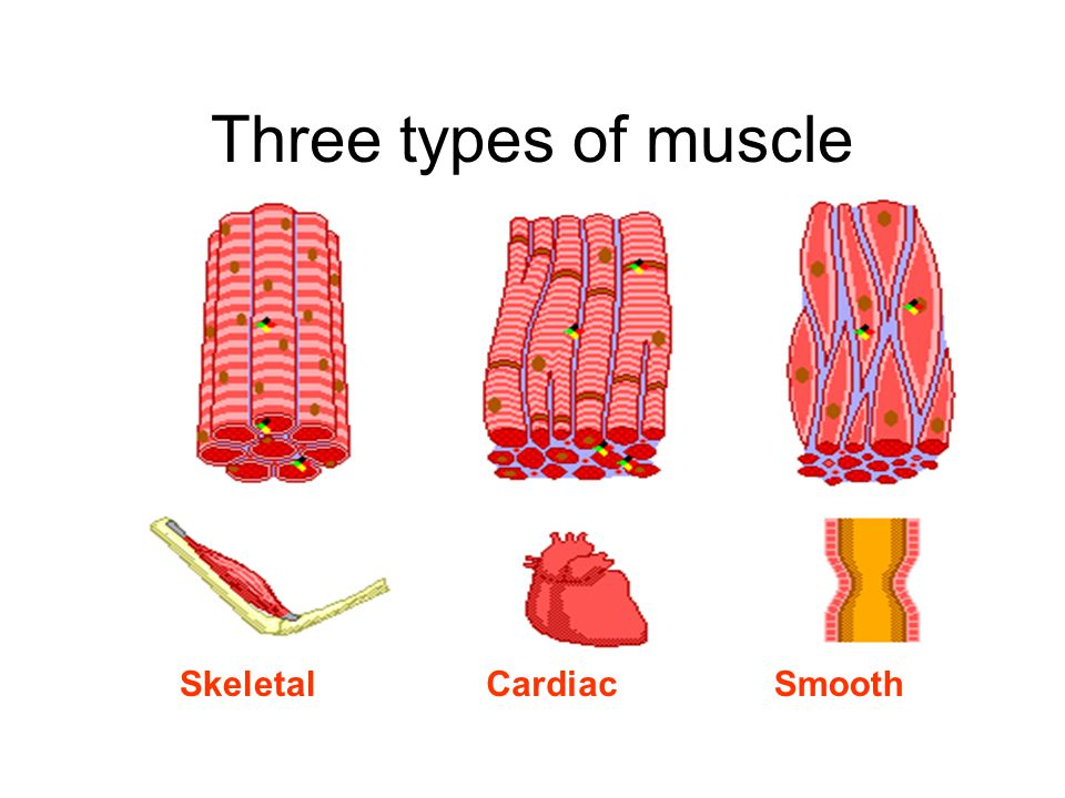 Three types of muscle SkeletalCardiacSmooth