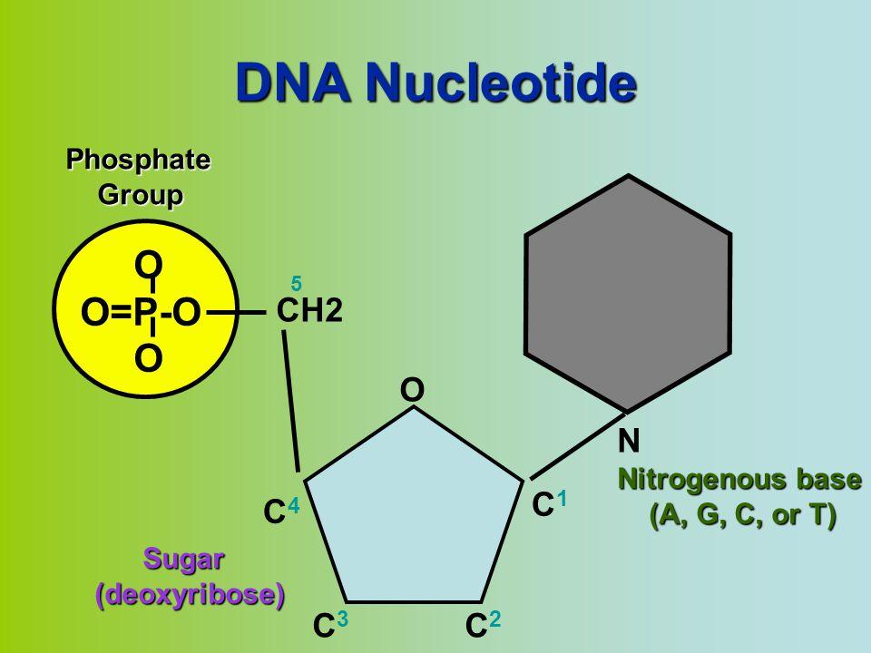 DNA Nucleotide O O=P-O OPhosphate Group Group N Nitrogenous base (A, G, C, or T) (A, G, C, or T) CH2 O C1C1 C4C4 C3C3 C2C2 5 Sugar Sugar(deoxyribose)
