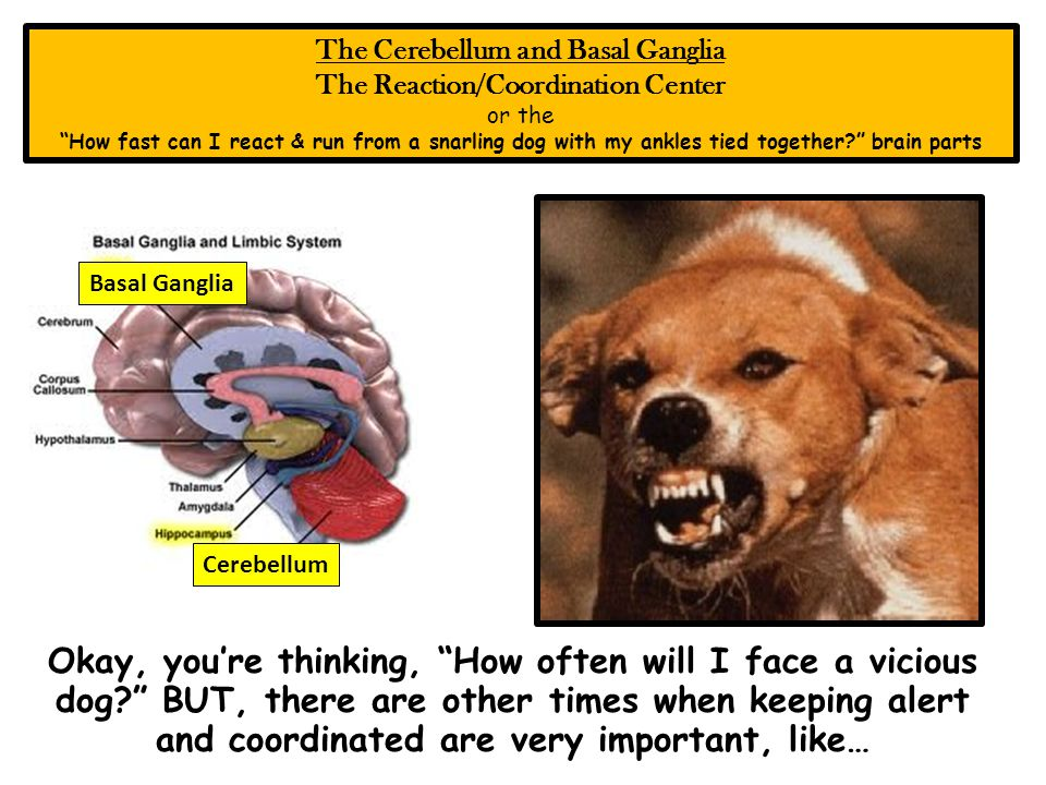 The Cerebellum and Basal Ganglia The Reaction/Coordination Center or the How fast can I react & run from a snarling dog with my ankles tied together.