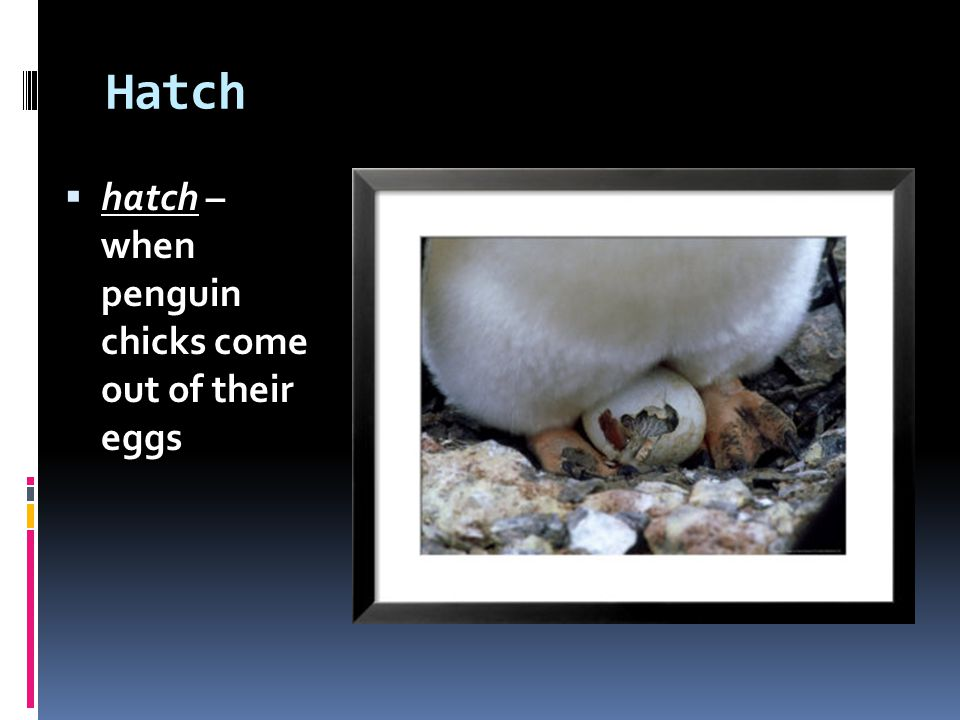 Hatch hatch – when penguin chicks come out of their eggs