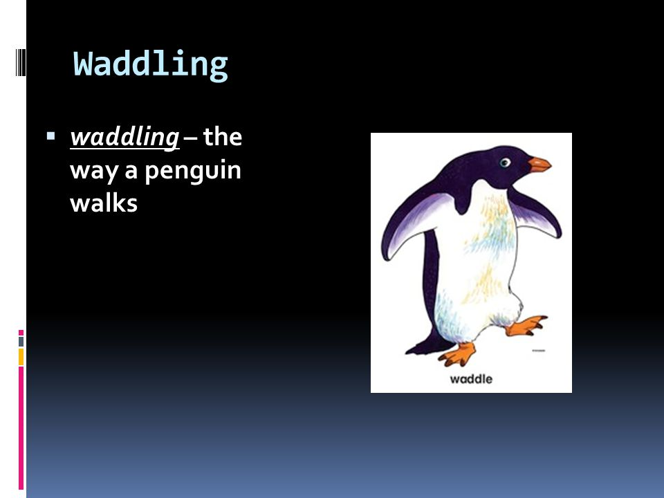 Waddling waddling – the way a penguin walks