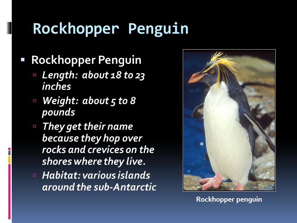 Rockhopper Penguin Length: about 18 to 23 inches Weight: about 5 to 8 pounds They get their name because they hop over rocks and crevices on the shore