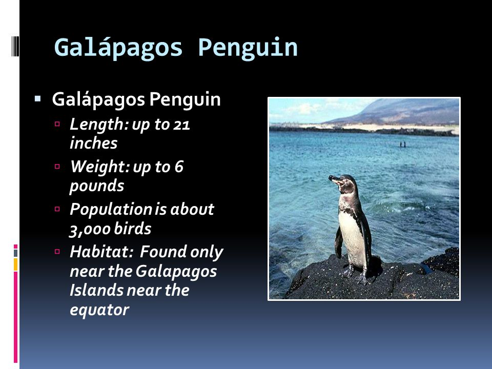 Galápagos Penguin Length: up to 21 inches Weight: up to 6 pounds Population is about 3,000 birds Habitat: Found only near the Galapagos Islands near t