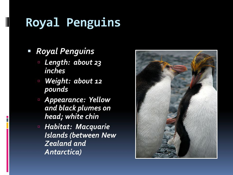 Royal Penguins Length: about 23 inches Weight: about 12 pounds Appearance: Yellow and black plumes on head; white chin Habitat: Macquarie Islands (bet