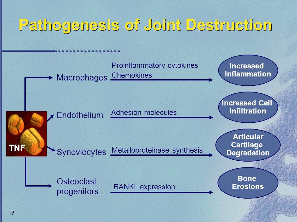 16 Pathogenesis of Joint Destruction Bone Erosions Macrophages Endothelium Synoviocytes Proinflammatory cytokines Chemokines Adhesion molecules Metall