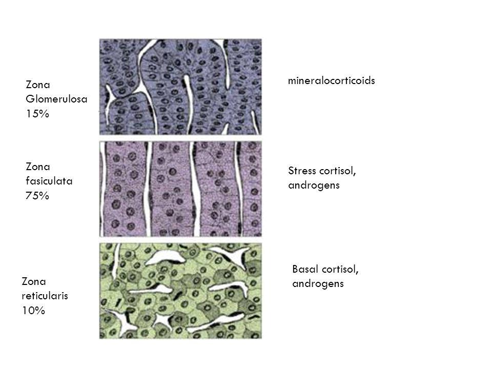 Zona fasiculata 75% Zona Glomerulosa 15% Zona reticularis 10% mineralocorticoids Stress cortisol, androgens Basal cortisol, androgens