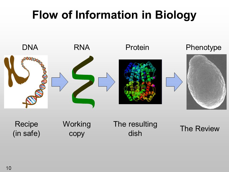 10 Flow of Information in Biology Recipe (in safe) Working copy The resulting dish The Review DNARNAProteinPhenotype