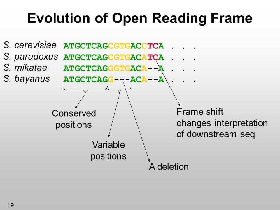 19 Evolution of Open Reading Frame ATGCTCAGCGTGACCTCA... ATGCTCAGCGTGACATCA... ATGCTCAGGGTGACA--A... ATGCTCAGG---ACA--A... S. cerevisiae S. paradoxus