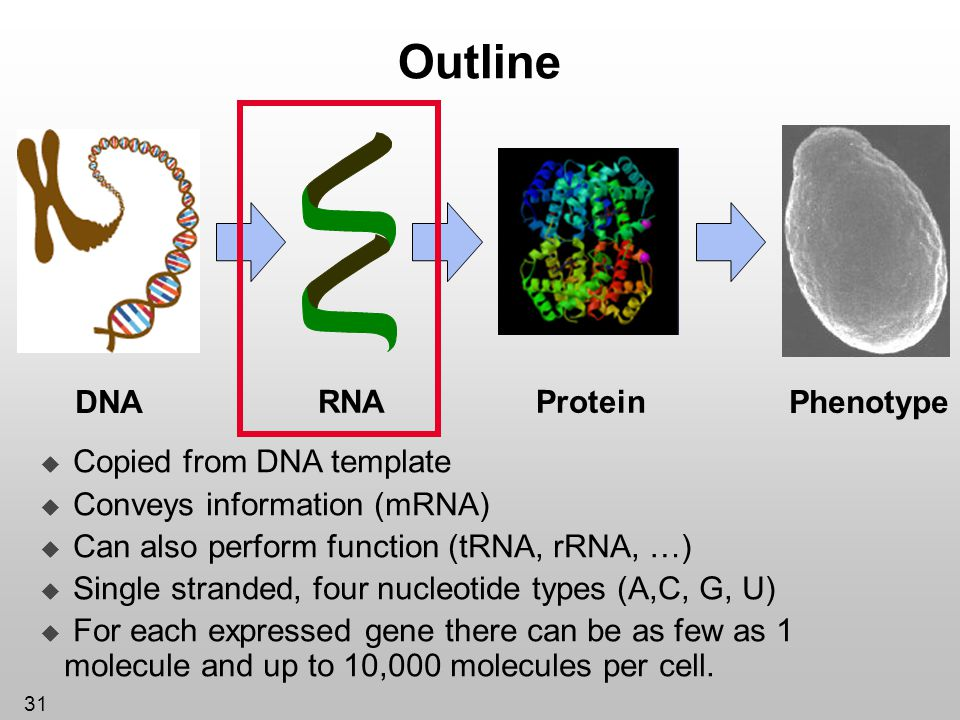 31 Outline Protein DNA RNA Phenotype Copied from DNA template Conveys information (mRNA) Can also perform function (tRNA, rRNA, …) Single stranded, fo