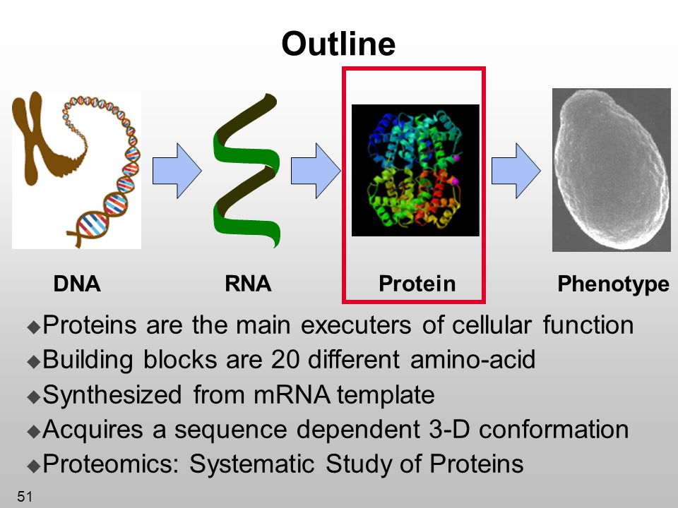 51 Outline Protein DNA RNA Phenotype Proteins are the main executers of cellular function Building blocks are 20 different amino-acid Synthesized from