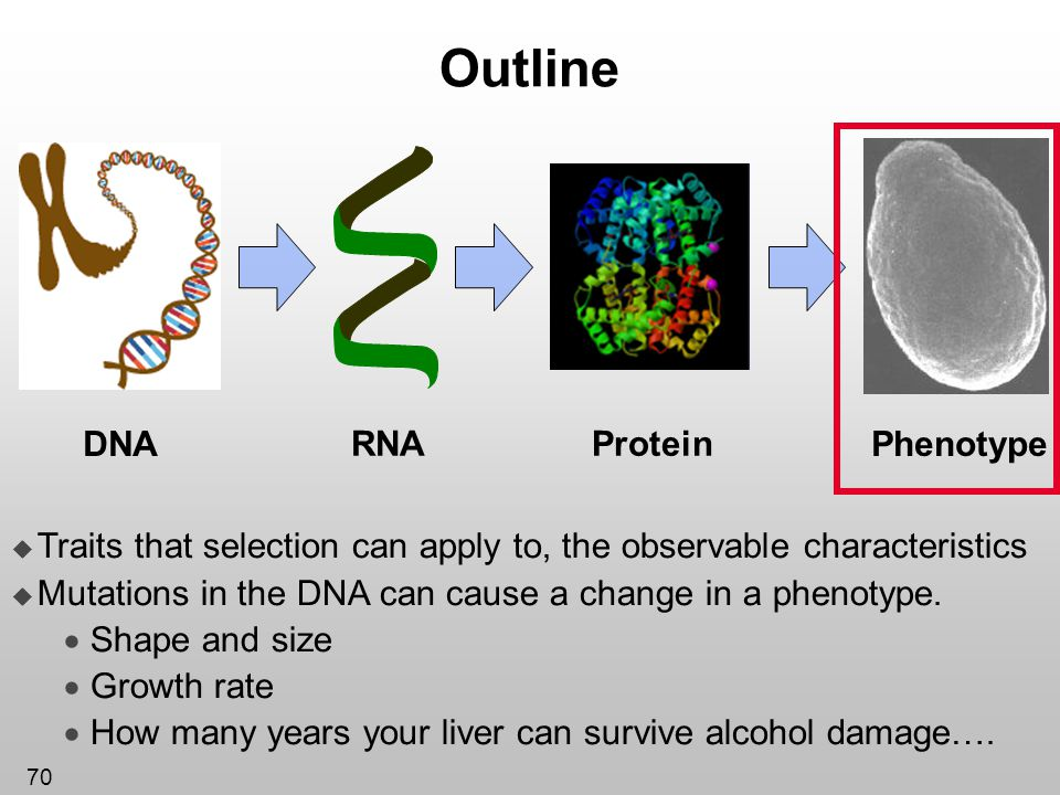 70 Outline Protein DNA RNA Phenotype Traits that selection can apply to, the observable characteristics Mutations in the DNA can cause a change in a p