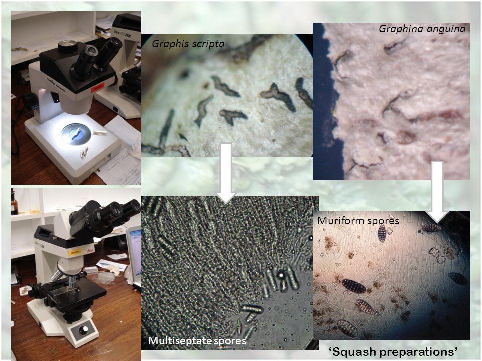 Squash preparations Multiseptate spores Muriform spores Graphis scripta Graphina anguina