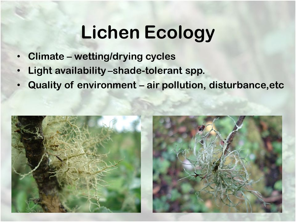 Lichen Ecology Climate – wetting/drying cycles Light availability –shade-tolerant spp. Quality of environment – air pollution, disturbance,etc