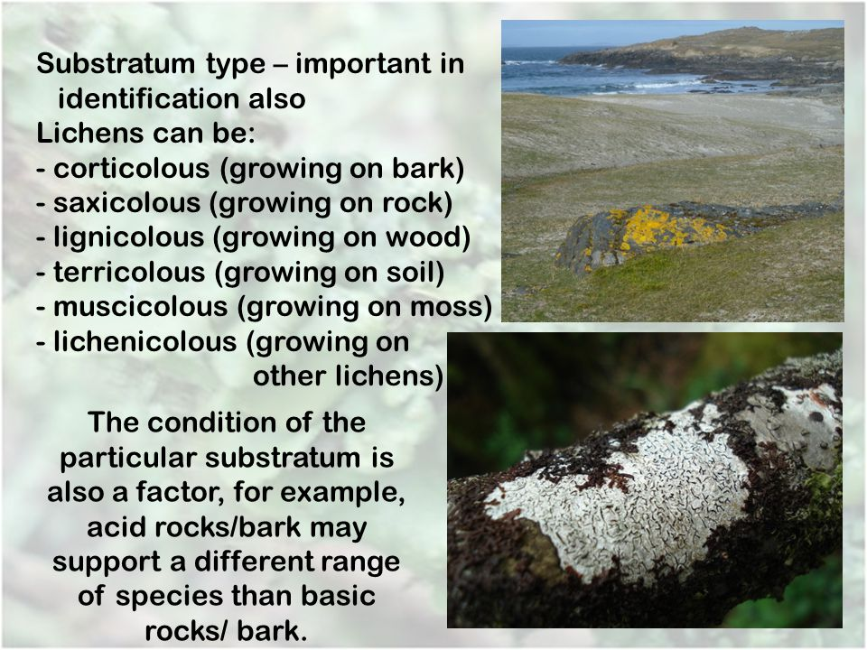 Substratum type – important in identification also Lichens can be: - corticolous (growing on bark) - saxicolous (growing on rock) - lignicolous (growi