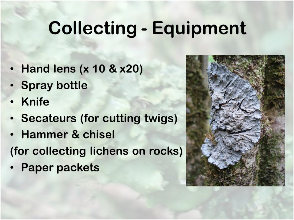 Collecting - Equipment Hand lens (x 10 & x20) Spray bottle Knife Secateurs (for cutting twigs) Hammer & chisel (for collecting lichens on rocks) Paper