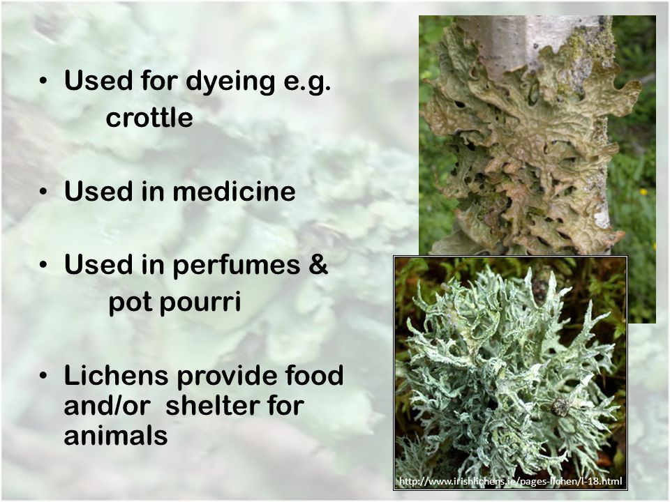 Used for dyeing e.g. crottle Used in medicine Used in perfumes & pot pourri Lichens provide food and/or shelter for animals http://www.irishlichens.ie