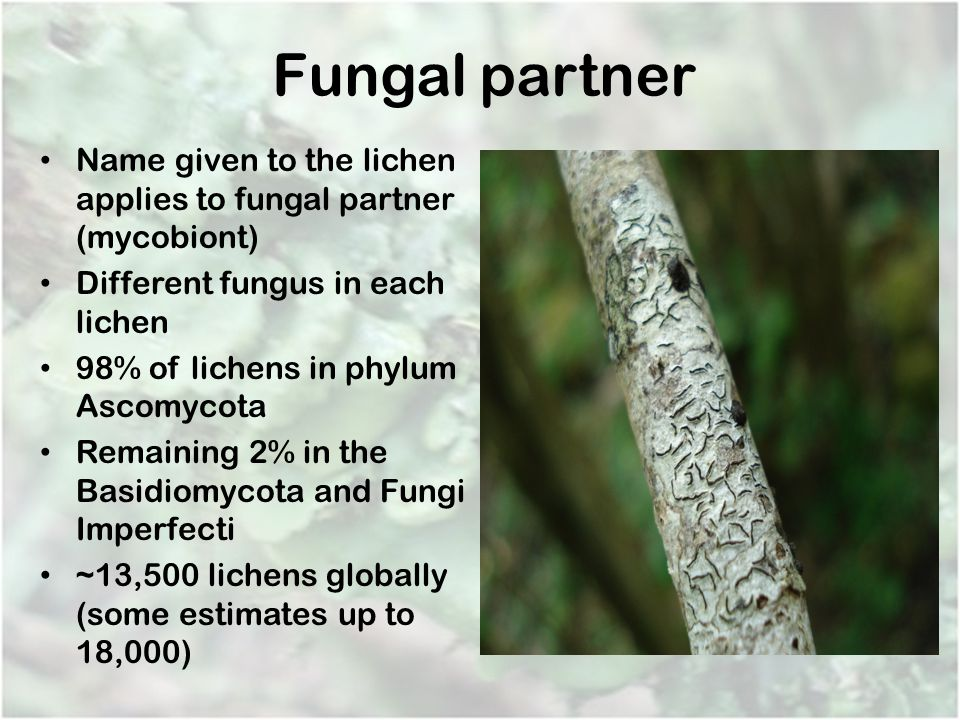 Fungal partner Name given to the lichen applies to fungal partner (mycobiont) Different fungus in each lichen 98% of lichens in phylum Ascomycota Rema