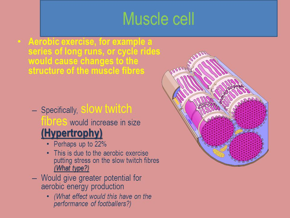 Muscular responses to exercise Muscular system: hypertrophy; increase in tendon strength; increase in myoglobin stores; increased number of mitochondr